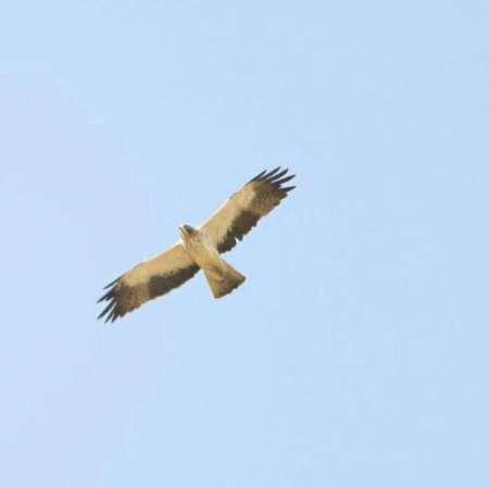 مشاهده نادر 'عقاب پرپا' در غرب کشور+عکس